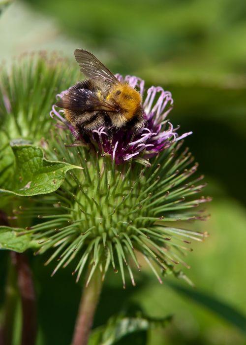 Hummel,vabzdys,gėlė,bičių,gamta,vasara,žiedas,žydėti,augalas,Uždaryti,pavasaris,sparnas,žiedadulkės,pieva,išgalvotas