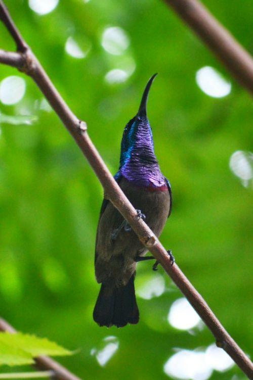 humminga paukštis,paukštis paukštis,spalvinga paukštis,paukštis,laukinė gamta,Šri Lanka,Mawanella,ceilonas