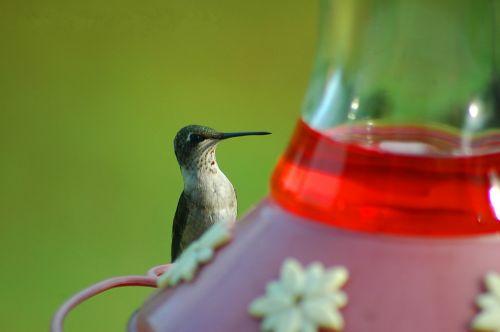 hummingas, paukštis, paukštis, paukščiai, mažas, mažas, mielas, tiektuvas, maitinimas, sodas, kraštovaizdis, lauke, plunksnos, sparnai, hummingų paukščių tiektuvas