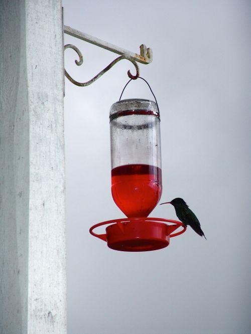 kolibris,gerti,paukštis,gėlių nektaras,sąskaitą