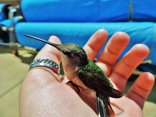 kolibris,paukštis,gamta,skraidantis,laukinė gamta,gyvūnas,sparnas,dizainas,paukščiai skrendantys,skristi,paukščių vektorius,paukščių vektorius,laukiniai,žalias,balta,atogrąžų,siluetas,piešimas,kolibris,skrydis,natūralus,spalvinga,paukščio siluetas,hummingas,snapas,egzotiškas,šviesus,fauna,piktograma,gėlė