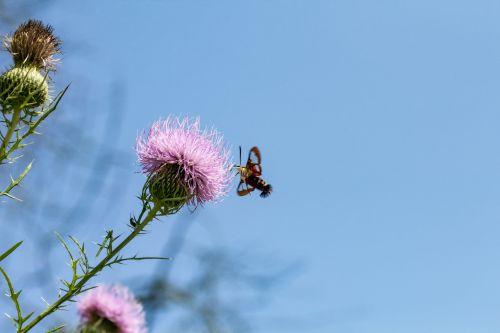 hummingbird & nbsp, moth, drugys, Valgomasis kumpis, gamta, grožis & nbsp, gamta, clearwing, laukinė gamta, kolibrio melas