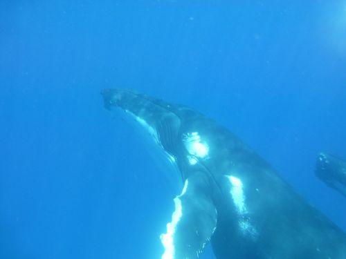 kuprotasis banginis,banginis,banginių šeimos gyvūnai,jūrų,žinduolis,laukinė gamta,Ramiojo vandenyno regionas