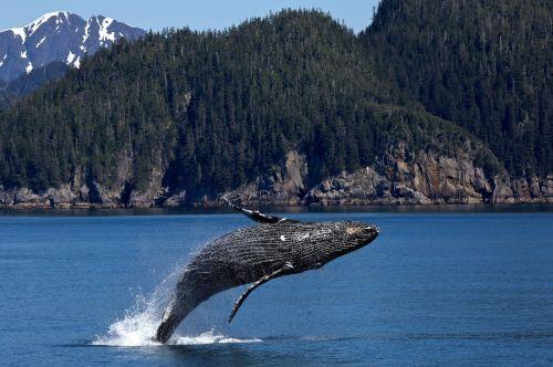 banginis, kuprokas, jūrų, vandenynas, jūra, šokinėja, žinduolis, pažeidimas, viešasis & nbsp, domenas, tapetai, fonas, purkšti, kenai & nbsp, fjordai & nbsp, nacionalinis & nbsp, parkas, alaska, usa, ns, maitinimas, padengti & nbsp, ledyną, banginių šeimos gyvūnas, baleen & nbsp, banginis, didelis, megaptera & nbsp, novaeangliae, kuprotasis banginis