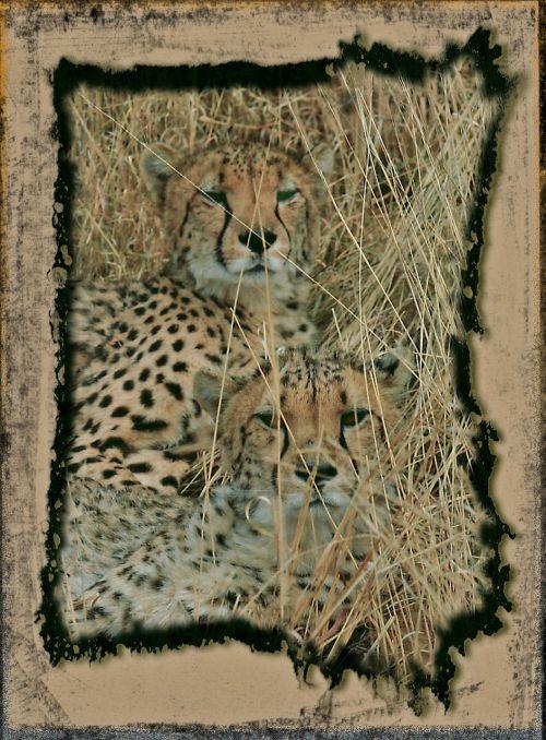 medžioklė leopardas,Gepardas,greitai,pavojingas,gyvūnas,katė,laukiniai,laukinė gamta,plėšrūnas,medžioklė-leopardas,laukinis gyvūnas,įrėminti,gamta,safari,Namibija,afrika