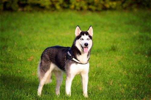 Husky,Siberianas,šuo,naminis gyvūnėlis,gyvūnas,mielas,gamta