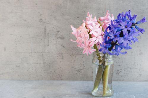 hiacintas,gėlės,rožinis,mėlynas,vazos,stiklas,deko,kvepiančios gėlės,skintos gėlės,pavasario gėlės,pavasaris,Uždaryti,aromatingas,teksto laisvė,neigiama erdvė