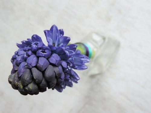 hiacintas,violetinė,gėlė,spalvos,natiurmortas,kvepiančios gėlės,stalas,vazos,purpurinė gėlė,gamta,ten,pavasaris,pavasario gėlė,purpurinė pavasario gėlė,violetinė ir balta,žydi gėlė,pavasario gėlės,spalva,balta,namai,nuotaika,Vestuvės,stiklas,apdaila,juosta