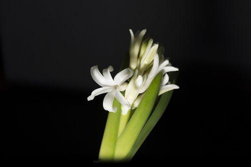 hiacintas,jacinto,balta,baltas hiacintas,gėlė,žydėjimas,gamta,gėlės,pavasaris,subtilus gėlė,žalias,augalai,grožis,subtilus,gyvenimas,natūra,vazos