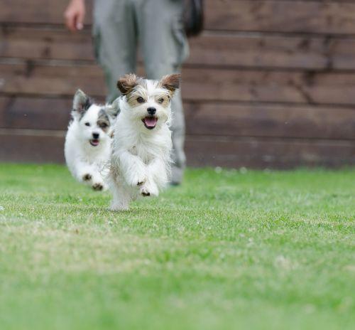 hibridai,mažas,saldus,mažas šuo,naminis gyvūnėlis,wuschelig,mažas hibridas,knuffig