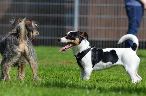 hibridai,mažas,saldus,mažas šuo,naminis gyvūnėlis,kuschelig,mažas hibridas,knuffig,jack russell terrier