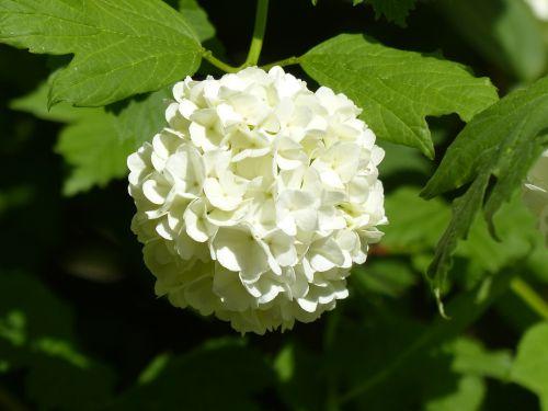 hortenzija,sniego rutulys,globojamos,balta