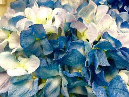 hortenzija,mėlynas,balta,gėlė,žydėti,žiedas,augalas,gamta,Vestuvės