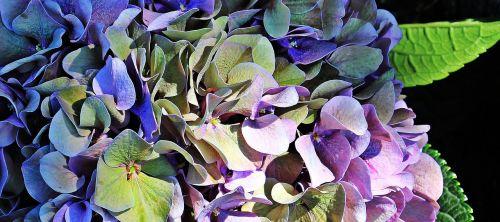 hortenzija,gėlė,žiedas,žydėti,vasara,mėlynas,violetinė,žalias,hortenzijos gėlė,gamta,dekoratyvinė gėlė,dekoratyvinis augalas,flora,mėlyna violetinė hortenzija,mėlyna violetinė gėlė,dekoratyvinis,spalva,fonas,fono paveikslėlis,mėlynos violetinės gėlės,mėlyna violetinė hydrangea gėlė