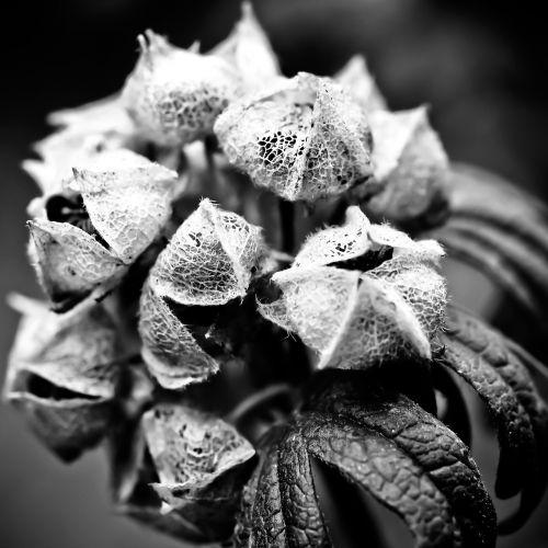 hortenzija,gėlė,sodas,gamta,Uždaryti,augalas,makro,laukinė gėlė,išblukęs,sausas,struktūra,skeletas,gėlės,juoda balta,juoda ir balta,makrofotografija,balta,juoda,nuotaika,tamsi,juoda ir balta nuotrauka,vienspalvis,praeitis