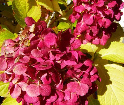 hortenzija,Burgundija,sodas