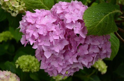 hortenzija,gėlė,vasara,gėlės,rožinis,Iš arti,sodo gėlė,krūmas,gražus,šviesus,žydėti,gamta,graži gėlė