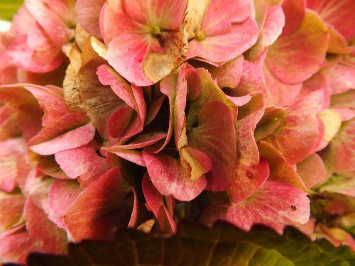 hortenzija,Bauer hortenzija,ruduo,trumpalaikis laikotarpis,žiedas,žydėti