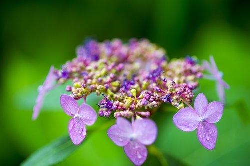 Hortenzija, Halla United States, Wildflower, gėlės