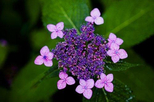 Hortenzija, Halla United States, violetinė, gėlės