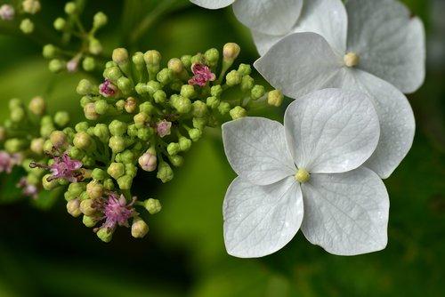Hortenzija, Iš arti, žiedas, žydi, baltos spalvos, mažas, švelnus, gėlė, meistriškos, botanika, gražus, vasara, vandens, šlapias, lašelinė, rasa, rasos lašas, morgentau, drėgna, makro