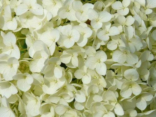 hortenzija,gėlė,gėlės,balta,Išsamiau,hydrangea macrophylla,dekoratyvinis krūmas,schirmförmig,žiedynas,ekrano aparatai,sepals,hydrangeas,šiltnamio hortensia,hydrangeaceae
