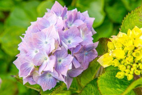 hydrangeas,gėlė,mėlynas,žalias,lapai,šviesa,plunksna,sodas,gamta,spalvinga,augalas,fonas,frisch,spalva,out,parkas,aplinka,flora,žydėti,gražus,uždaryti vaizdą,žiedlapis