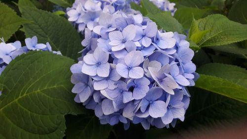 hydrangeas,mėlynas,mėlyna hortenzija,mėlynos hydrangeos,gėlė,augalas,augalai,parkas,gėlės,vasaros pabaigoje,vasara,vasaros gėlės,vasaros gėlė,Švedija,lapai,lapija