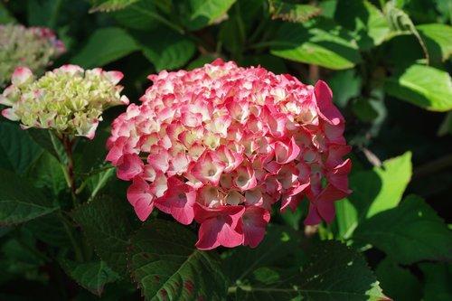 hydrangeas, gėlės, vasara, Sodas, hortenzija gėlės, gražus, dekoratyviniai augalai, Žiedynai, romantiškas, dekoratyvinių krūmų, fonas, žydi, spalvinga, floros, žiedlapiai
