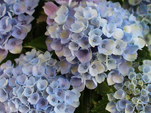 hydrangeas,hortenzija,sepals,mėlynas,dekoratyvinis krūmas,Uždaryti
