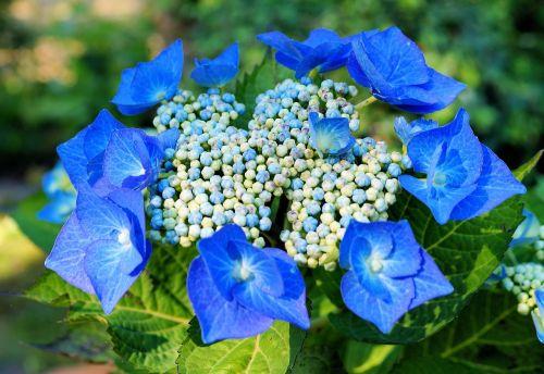 hydrangeas,hortenzija,gėlės,mėlynas,žiedynas,švelnus