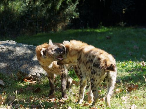 hyenas,hyénidae,afrika,savana,afrikiečių gyvūnai,gyvūnai,gyvūnas,Laukiniai gyvūnai