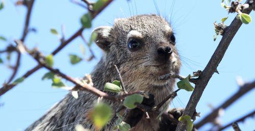 hyrax,medis,Namibija