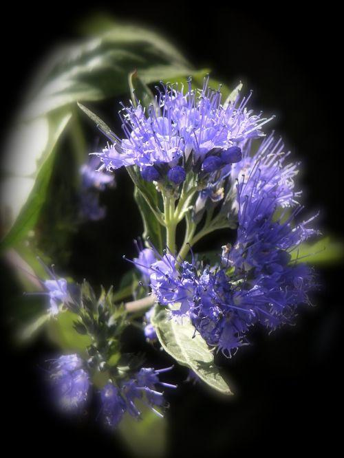 isopas,ysopblüte,prieskoniai,kulinarijos žolės,virtuvės prieskoniai,virtuvės žolelių,žolė,sodo prieskonių augalas,aromatiniai,kvapus augalas,vaistinis augalas,gamta,gėlė,augalas,lapai,vasara,sodas,šviesus