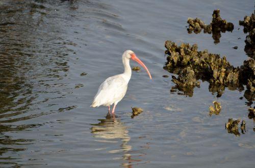 ibis, paukštis, paukštis, laukinė gamta, plunksnos, sparnai, snapas, grožis, gamta, kraštovaizdis, atogrąžų, vėdinimas & nbsp, paukštis, ibis paukštis