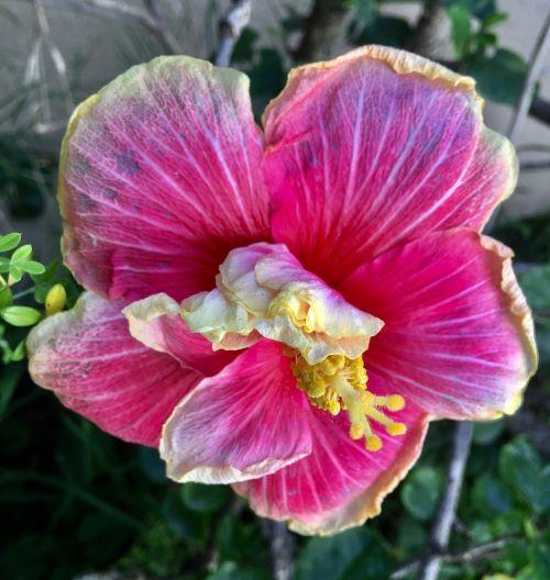 ibisco,žiedlapiai rožinės spalvos,sodas,pavasaris,žiedlapiai,rožinės žiedlapių,gamta,rožinė gėlė,rožinis,ibisco pink,žiedlapis,rožinės gėlės,žydėjimas,rožių žiedlapiai,gėlė