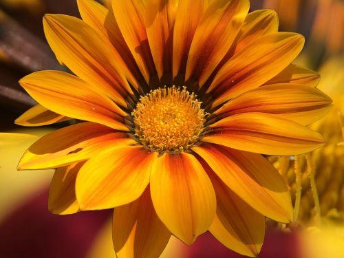 ledo augalas,kad priklauso,sultingas augalas,gėlė,žiedas,žydėti,spalvingas,roko sodo krūmas,spalvinga,dekoratyvinis augalas,spalva,geltonojo ledo augalas,geltona,gėlių sodas