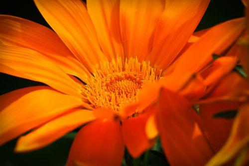 ledo augalas,gėlė,žiedas,žydėti,gamta,sultingas augalas,gėlių sodas,žydėti,makro,spalvingas,spalva,dekoratyvinis augalas,spalvinga,Uždaryti,raudona,šviesus,pavasaris,flora,augalas,vasara,oranžinė