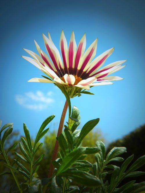 ledo augalas,gazania,gazanie,kompozitai,žiedas,žydėti,gėlė,raudona,spalvinga,aukso vidurdienis