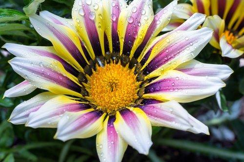 ledo gamykla, Gazania, dekoratyvinis augalas, kompozitai, gėlė, aukso val, Gazania, šviesus, gėlių sodas, žiedas, žydi, pobūdį, makro, sodo augalų, vandens, lietaus lašas