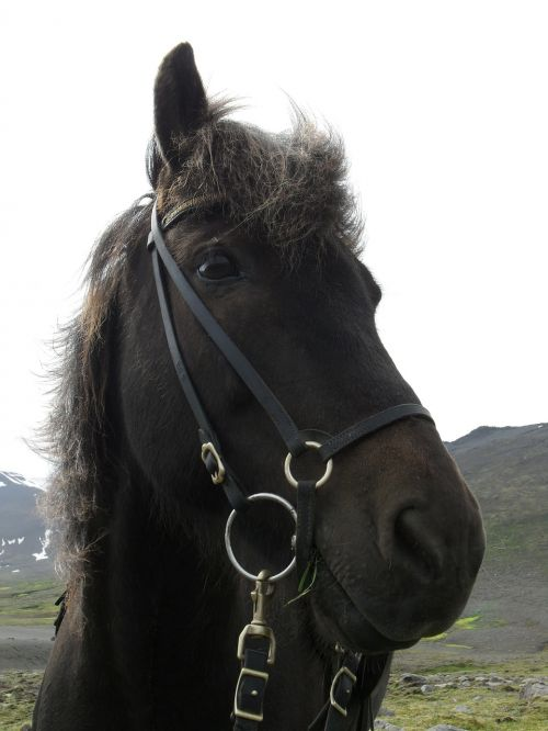 iceland,Islandijos arklys,islandų salos,iceland pony,arklys,kamuoliukas