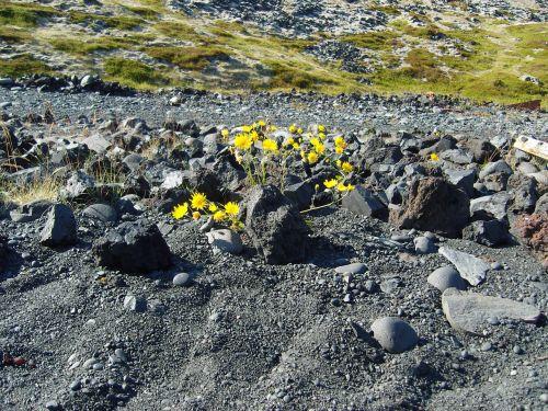 iceland,lava,augalas,gėlė,pilka,geltona,akmenys,retenybė,retai,Karg,užaugo,lava rock,vulkaninis uolas,sluoksnis