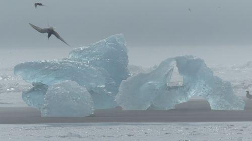 Iceland, Ledkalnis, Paukštis, Ternas