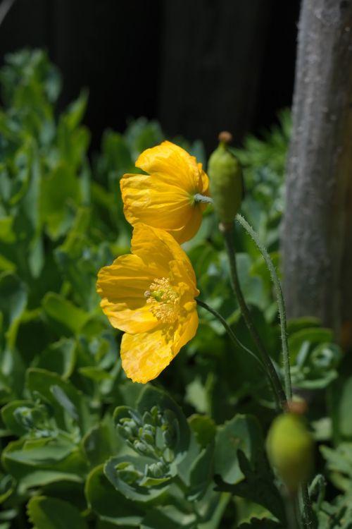 ispanų aguonas,gėlė,žiedas,žydėti,geltona,mm,papaver nudicaule,nuogi stiebeliai aguona,mohngewaechs,Papaveraceae