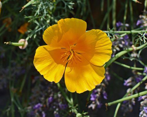 ispanų aguonas,gėlė,žiedas,žydėti,augalas,gamta,sodas,spalvinga,geltona