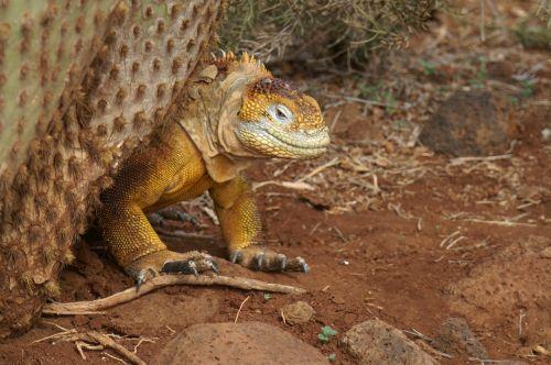 iguana,kaktusas,galapagai,ecuador,kelionė,gamta,gyvūnas