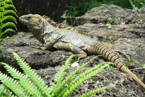 iguana,ropliai,gyvūnas,žalias,ropliai,iliustracija,fauna,driežas,gamta