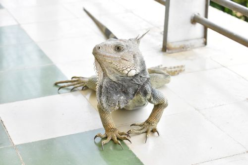 Iguana, Fauna, Kolumbija, Gyvūnas, Ropliai, Gamta, Driežas, Ropliai, Gyvūnų Pasaulis, Laukiniai, Atogrąžų Fauna