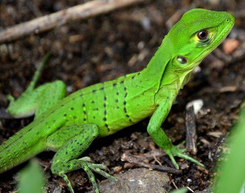 iguana,ropliai,žalias,driežas,gyvūnas,gamta,gyvūnai,ropliai
