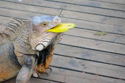 iguana,gamta,Kolumbija,ropliai,gyvūnas,fauna,gyvūnai,ropliai,valgyti
